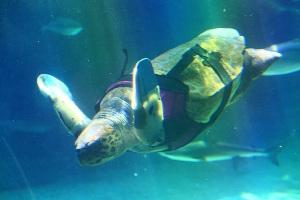 サメに襲われた両前肢に義肢をつけたアカウミガメの「悠」が死亡しました。献花台を設置いたします。 – ニュース・お知らせ