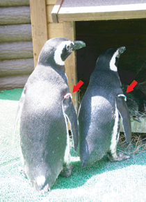 ペンギンの紹介 – アトラクション